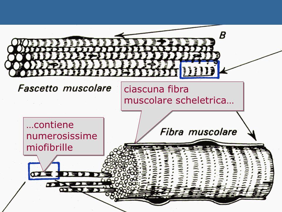 ciascuna fibra muscolare scheletrica… …contiene numerosissime miofibrille