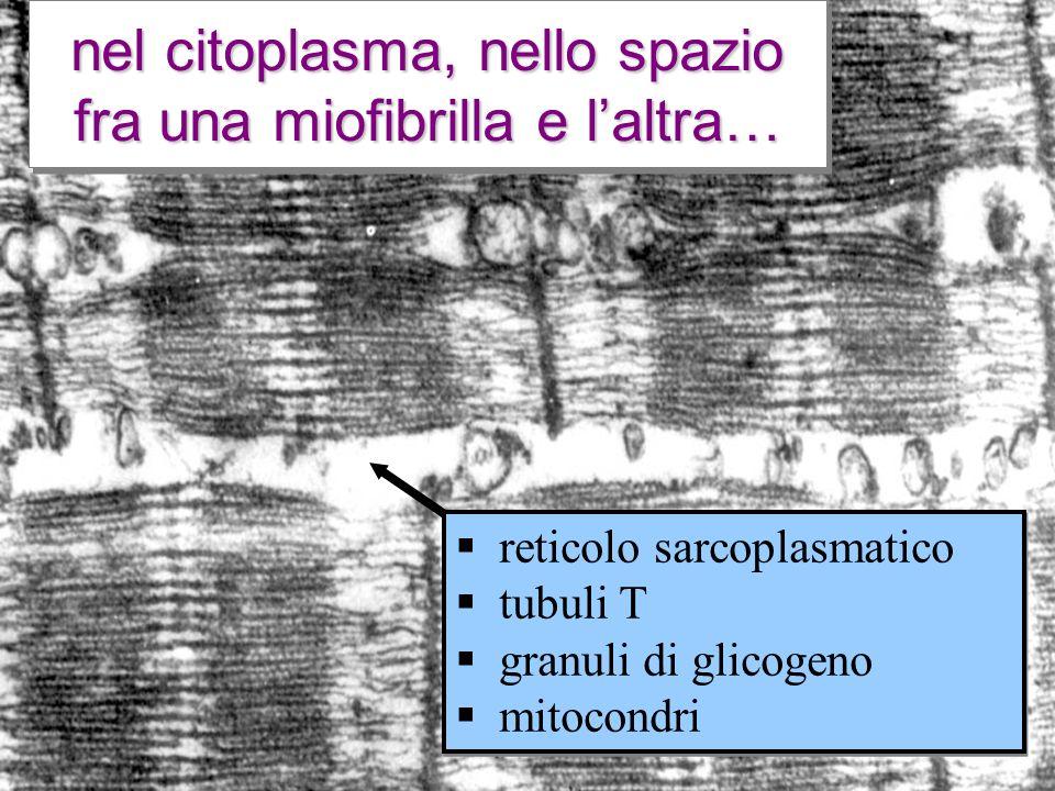 nel citoplasma, nello spazio fra una miofibrilla e laltra… reticolo sarcoplasmatico tubuli T granuli di glicogeno mitocondri reticolo sarcoplasmatico