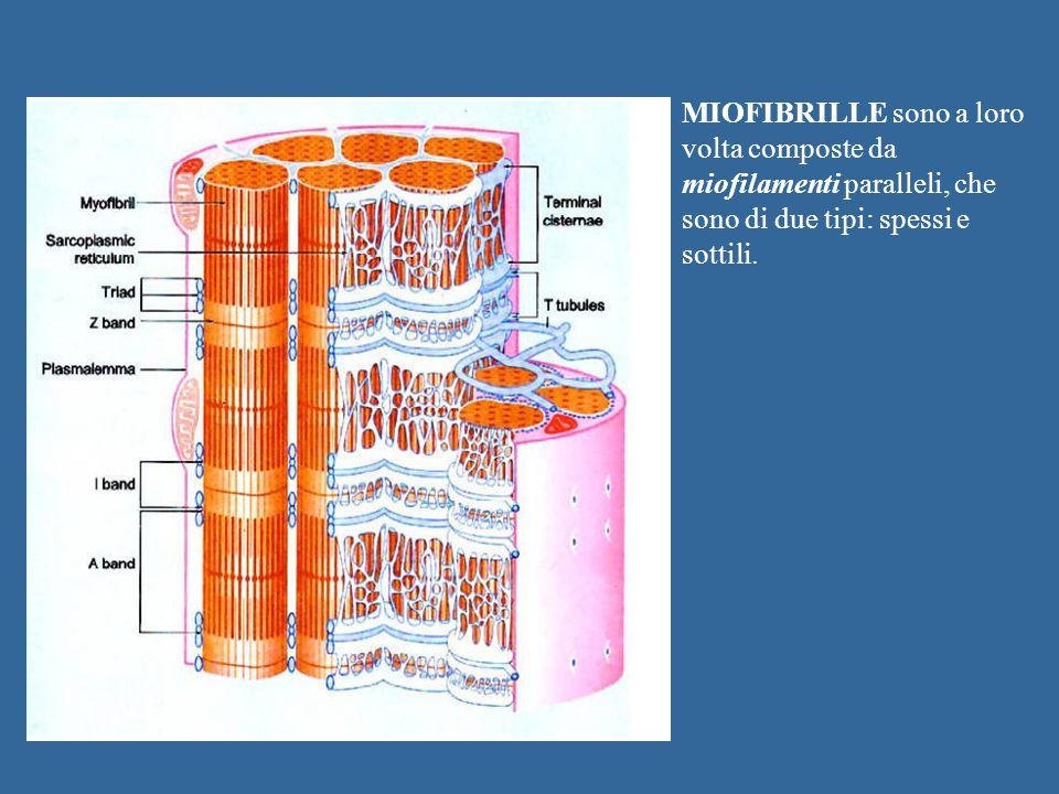MIOFIBRILLE sono a loro volta composte da miofilamenti paralleli, che sono di due tipi: spessi e sottili.