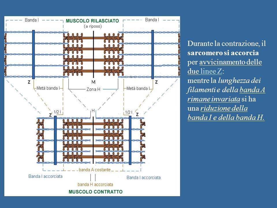 Durante la contrazione, il sarcomero si accorcia per avvicinamento delle due linee Z: mentre la lunghezza dei filamenti e della banda A rimane invaria