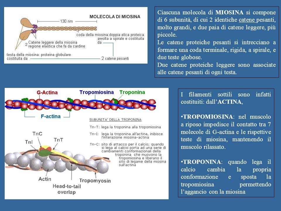 Ciascuna molecola di MIOSINA si compone di 6 subunità, di cui 2 identiche catene pesanti, molto grandi, e due paia di catene leggere, più piccole. Le