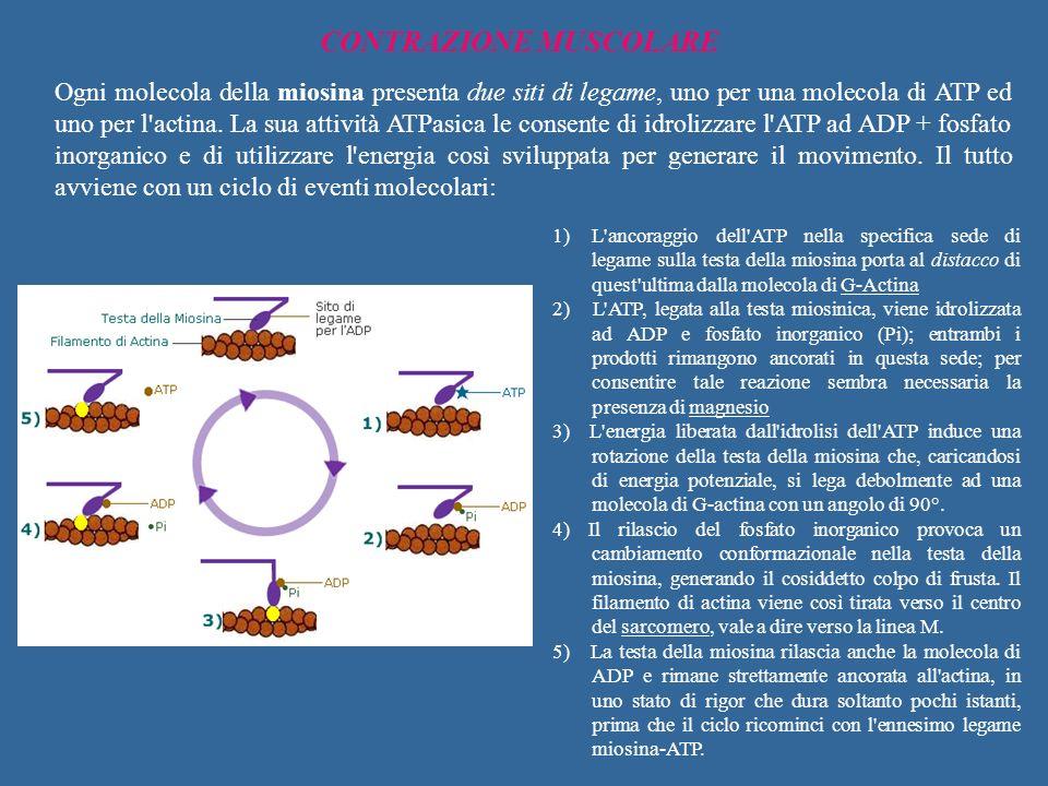 CONTRAZIONE MUSCOLARE Ogni molecola della miosina presenta due siti di legame, uno per una molecola di ATP ed uno per l'actina. La sua attività ATPasi