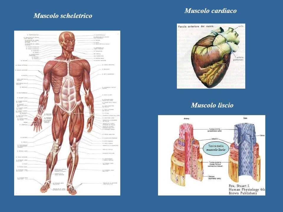 Tunica media muscolo liscio Muscolo scheletrico Muscolo cardiaco Muscolo liscio