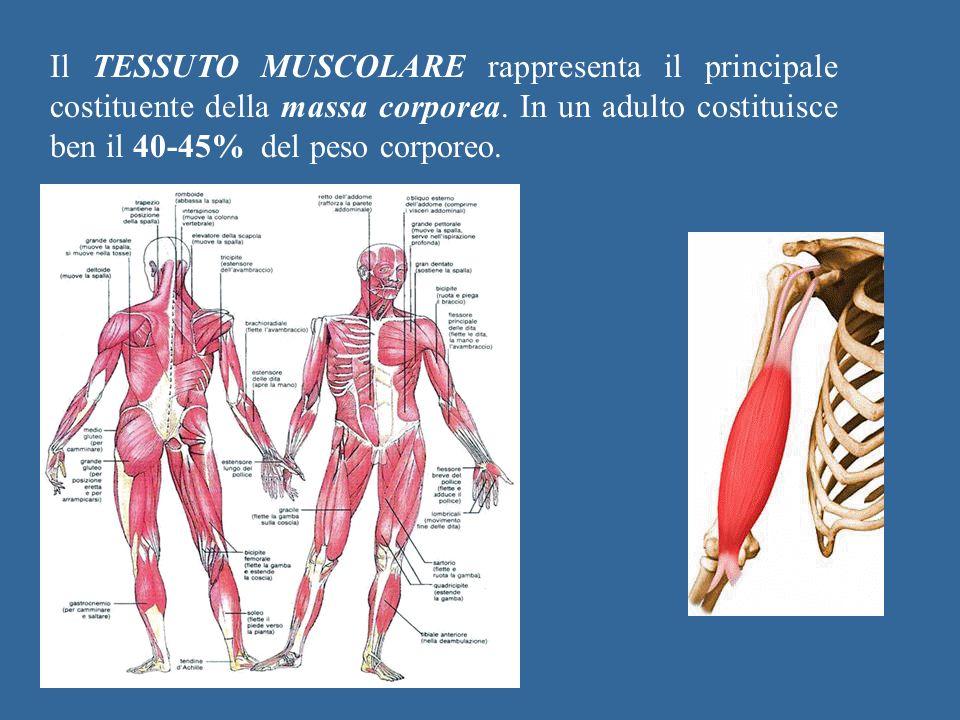 Il TESSUTO MUSCOLARE rappresenta il principale costituente della massa corporea. In un adulto costituisce ben il 40-45% del peso corporeo.