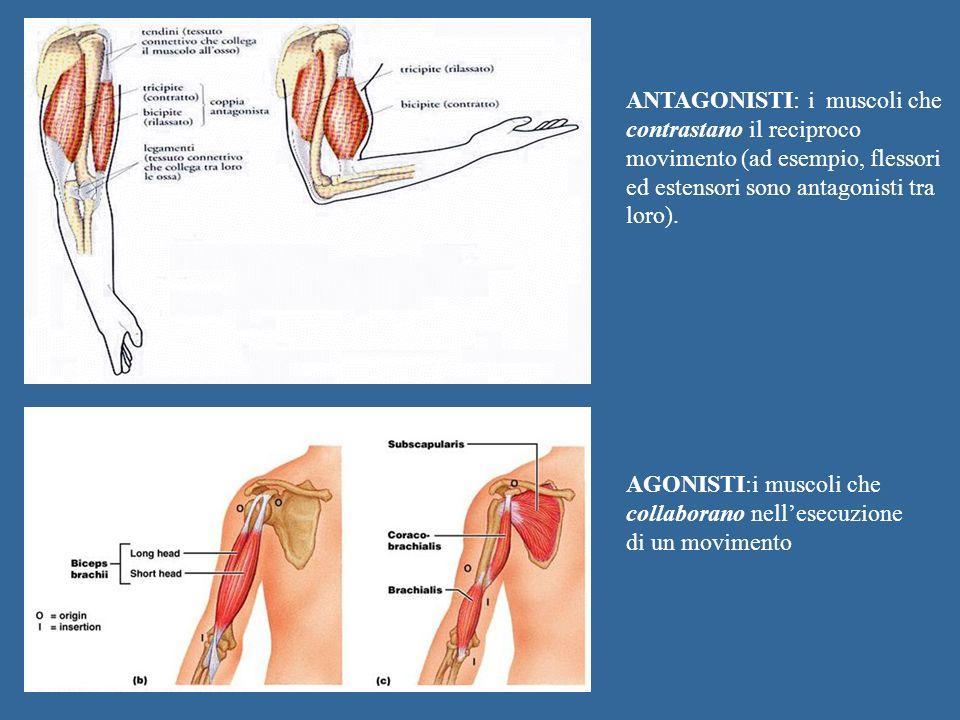 AGONISTI:i muscoli che collaborano nellesecuzione di un movimento ANTAGONISTI: i muscoli che contrastano il reciproco movimento (ad esempio, flessori