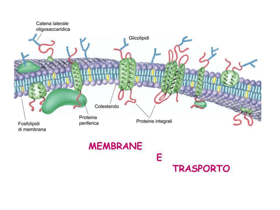 Il sistema di trasporto attivo richiede energia fornita dallidrolisi dellATP ed avviene contro gradiente di concentrazione Tutte le cellule animali espellono ioni Na + e accumulano ioni K + in modo attivo.