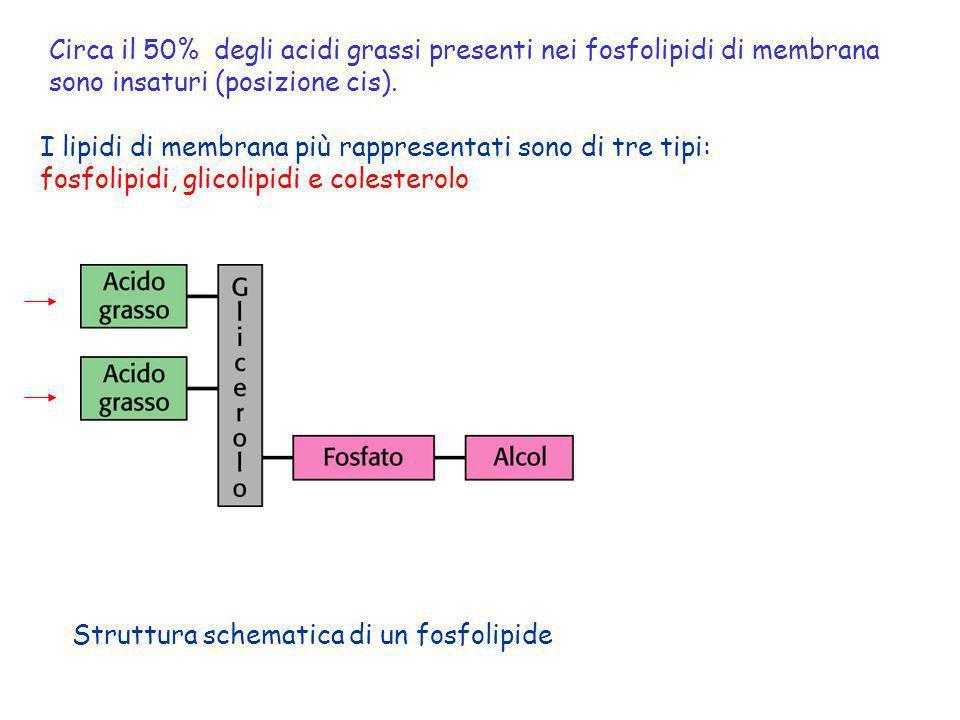 Struttura schematica di un fosfolipide I lipidi di membrana più rappresentati sono di tre tipi: fosfolipidi, glicolipidi e colesterolo Circa il 50% de