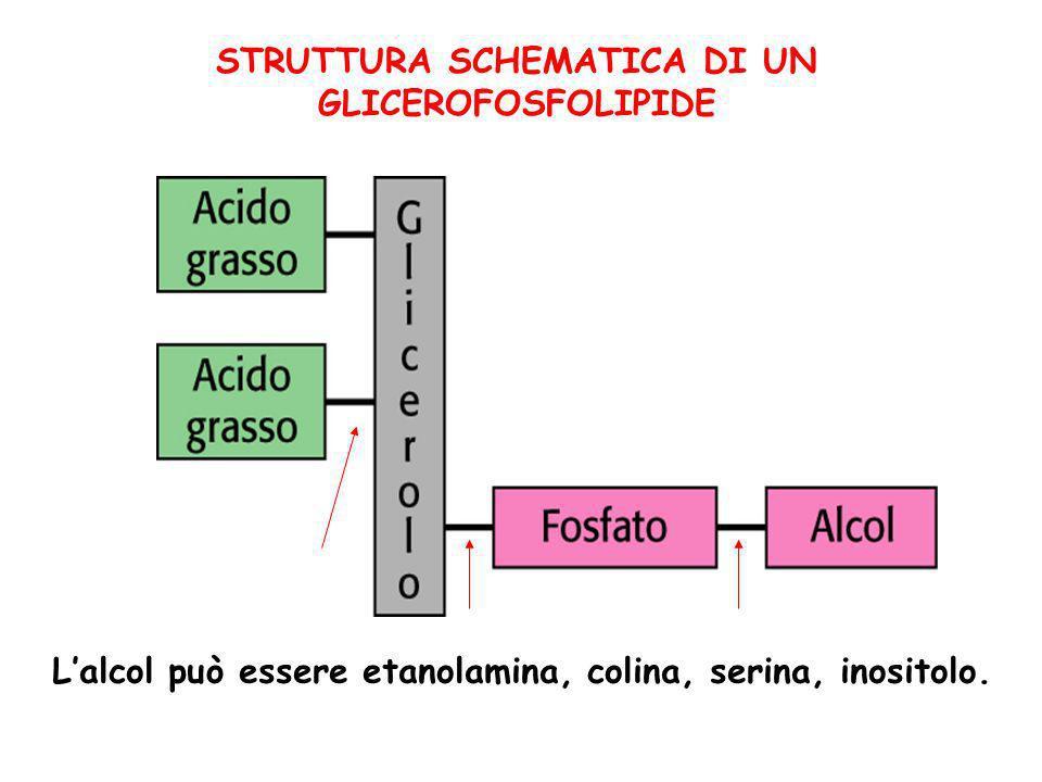 STRUTTURA SCHEMATICA DI UN GLICEROFOSFOLIPIDE Lalcol può essere etanolamina, colina, serina, inositolo.