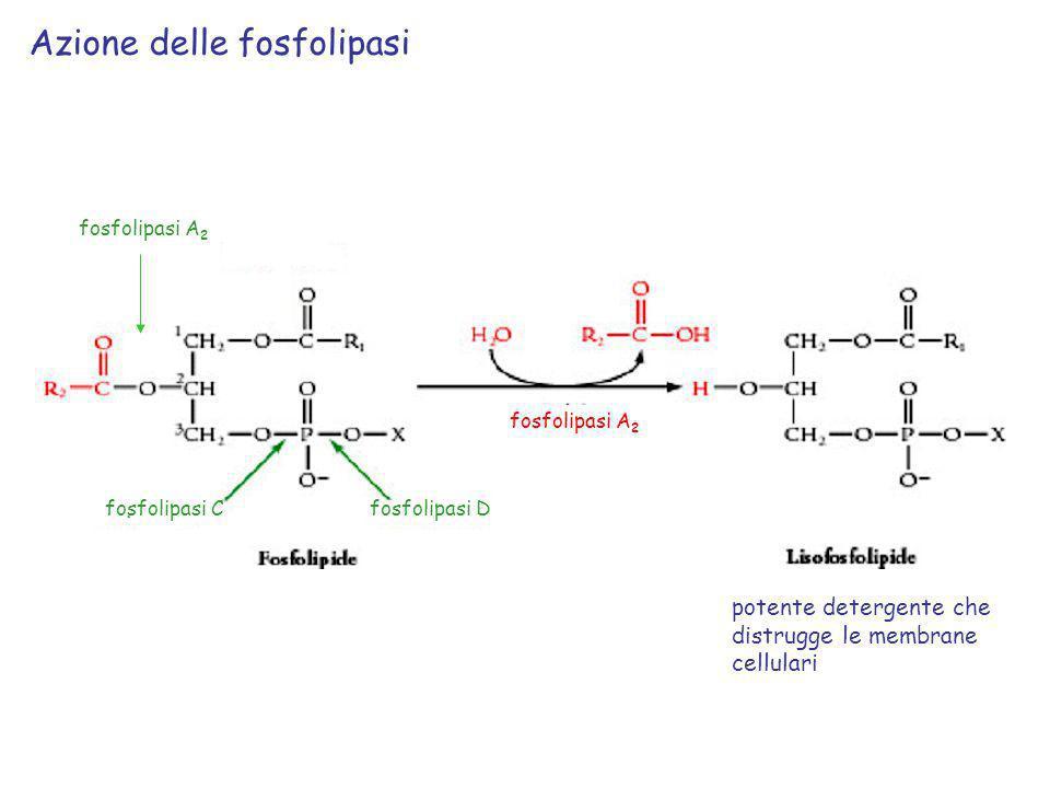 Azione delle fosfolipasi potente detergente che distrugge le membrane cellulari (nei veleni di api e serpenti) fosfolipasi A 2 fosfolipasi Cfosfolipas