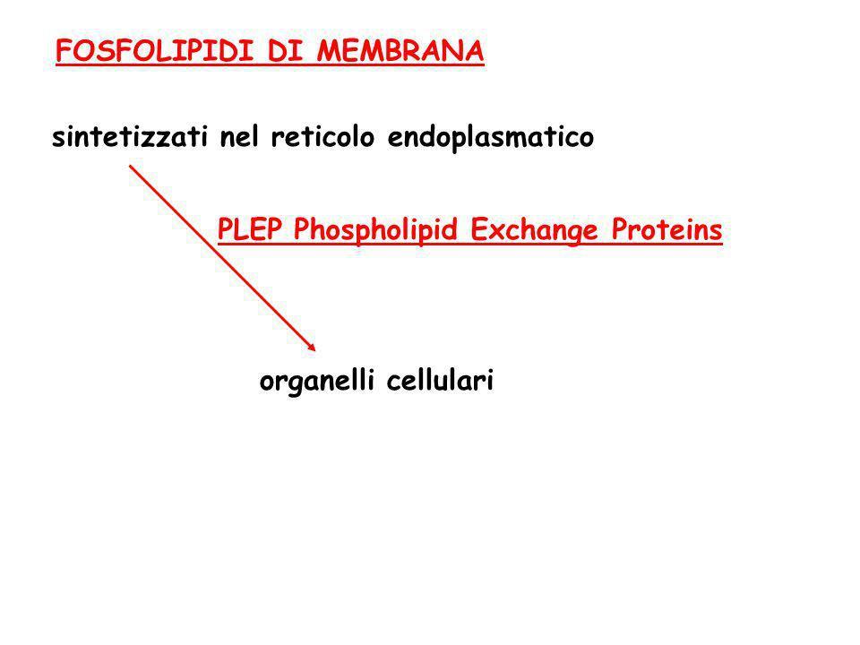 FOSFOLIPIDI DI MEMBRANA sintetizzati nel reticolo endoplasmatico PLEP Phospholipid Exchange Proteins organelli cellulari