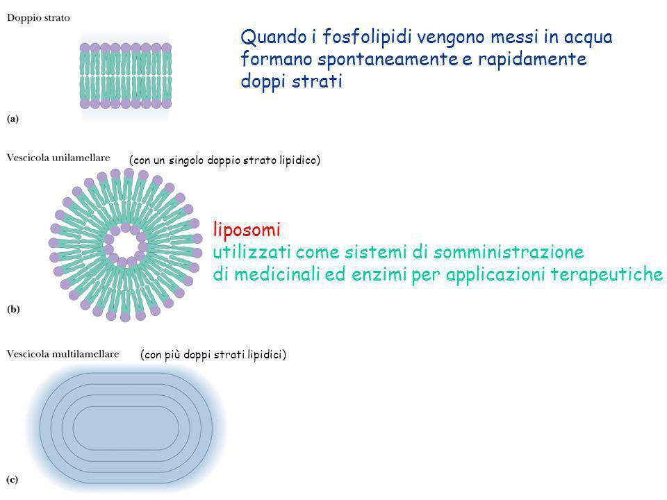 Quando i fosfolipidi vengono messi in acqua formano spontaneamente e rapidamente doppi strati (con un singolo doppio strato lipidico) (con più doppi s