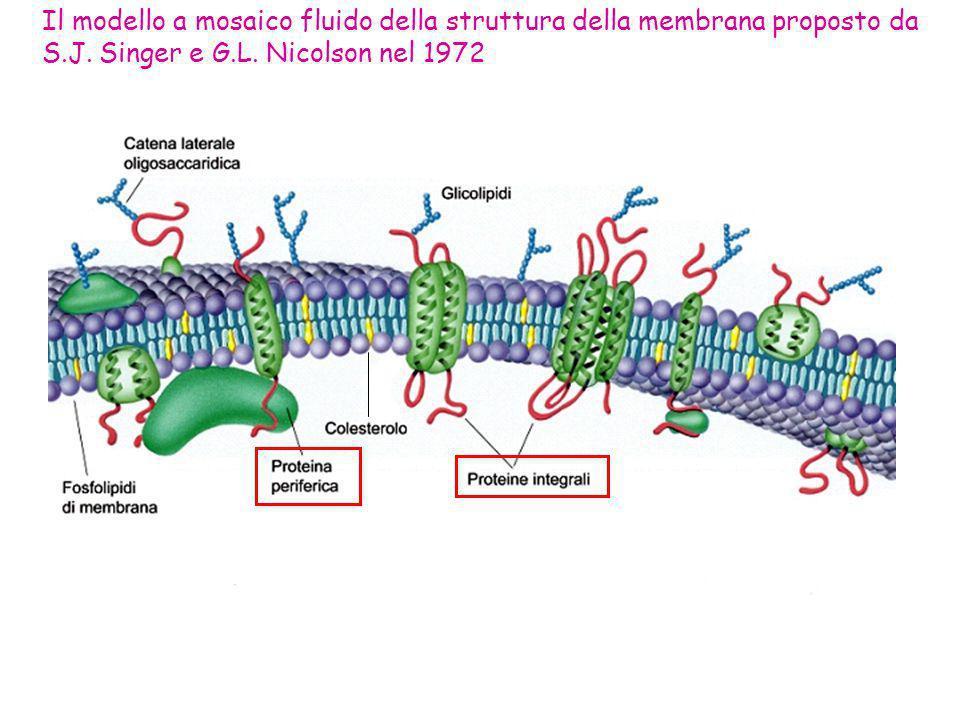 Il modello a mosaico fluido della struttura della membrana proposto da S.J. Singer e G.L. Nicolson nel 1972