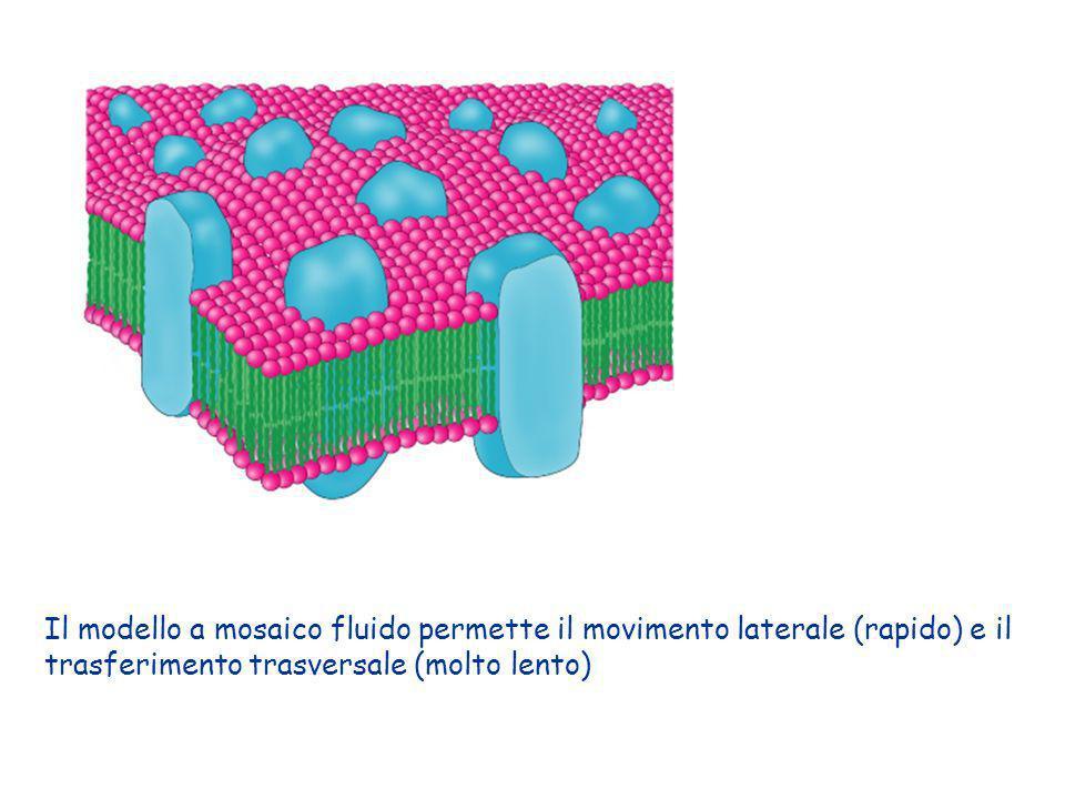 Il modello a mosaico fluido permette il movimento laterale (rapido) e il trasferimento trasversale (molto lento)