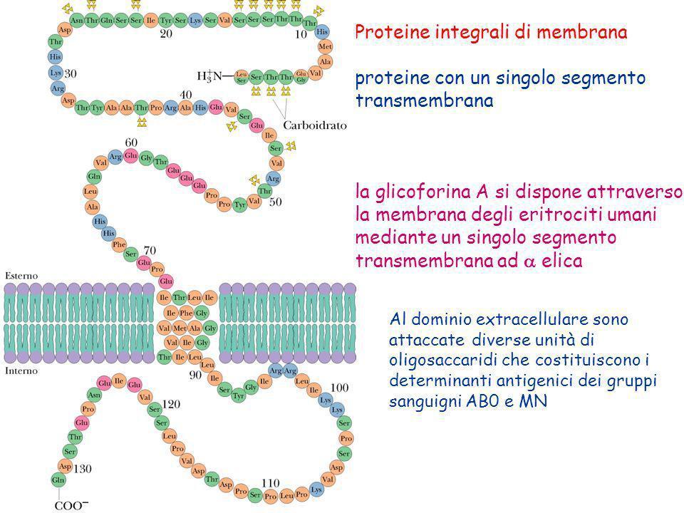 Proteine integrali di membrana proteine con un singolo segmento transmembrana la glicoforina A si dispone attraverso la membrana degli eritrociti uman