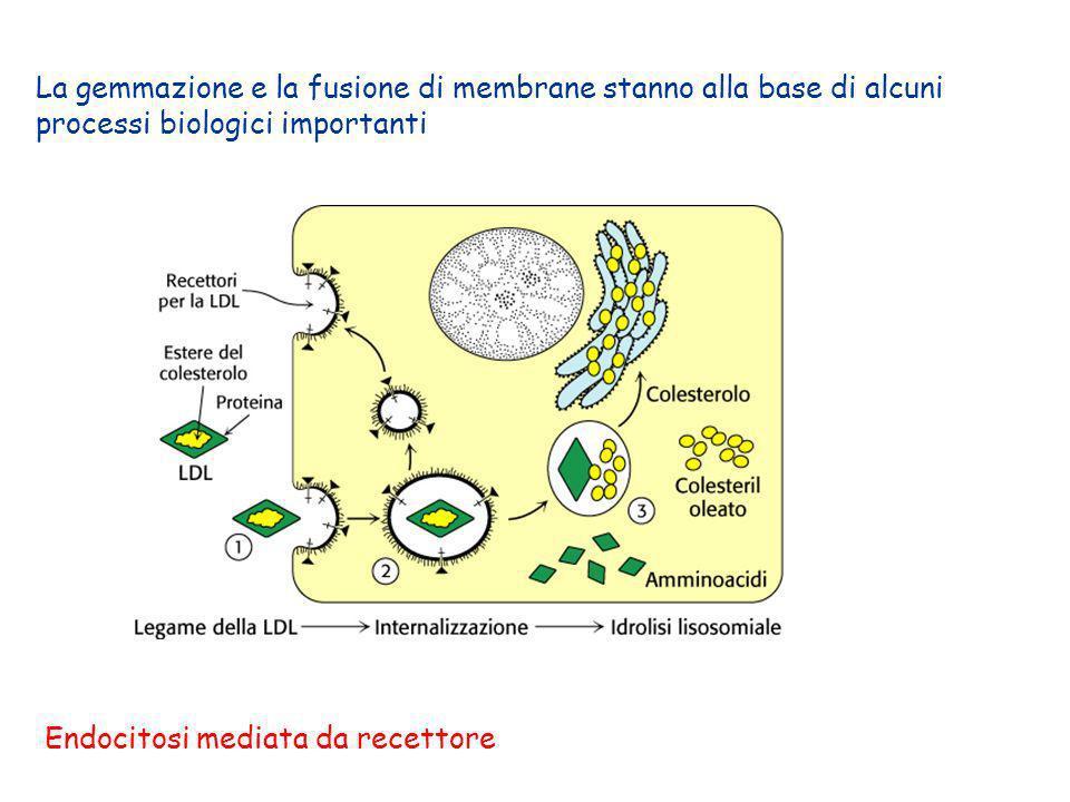 La gemmazione e la fusione di membrane stanno alla base di alcuni processi biologici importanti Endocitosi mediata da recettore