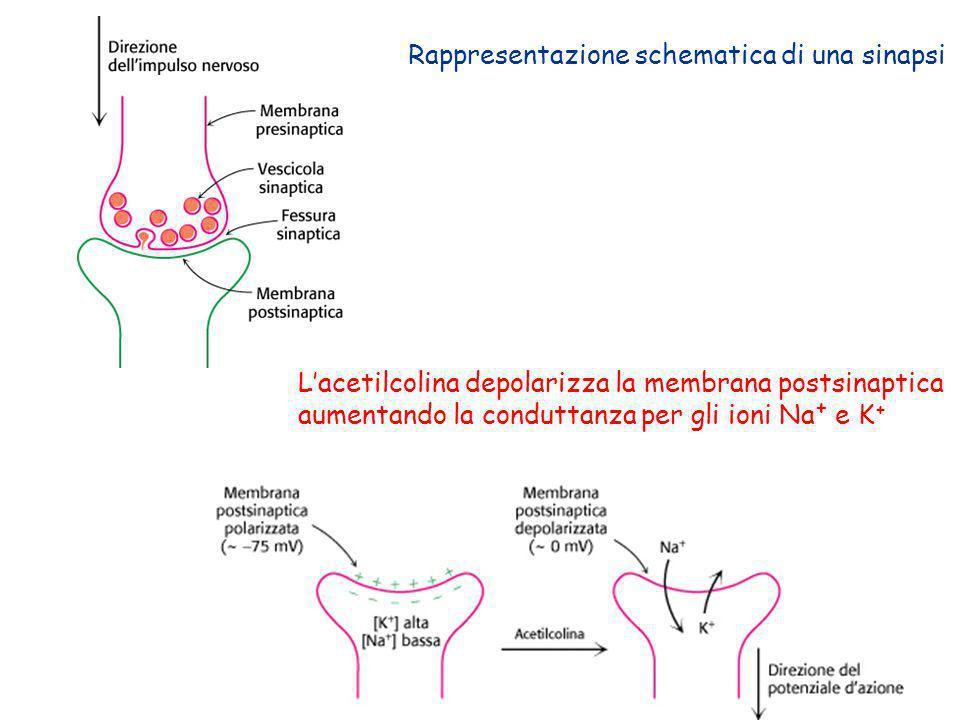Rappresentazione schematica di una sinapsi Lacetilcolina depolarizza la membrana postsinaptica aumentando la conduttanza per gli ioni Na + e K +