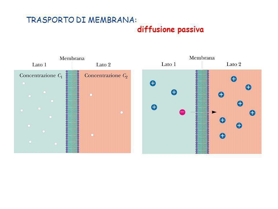 TRASPORTO DI MEMBRANA: diffusione passiva
