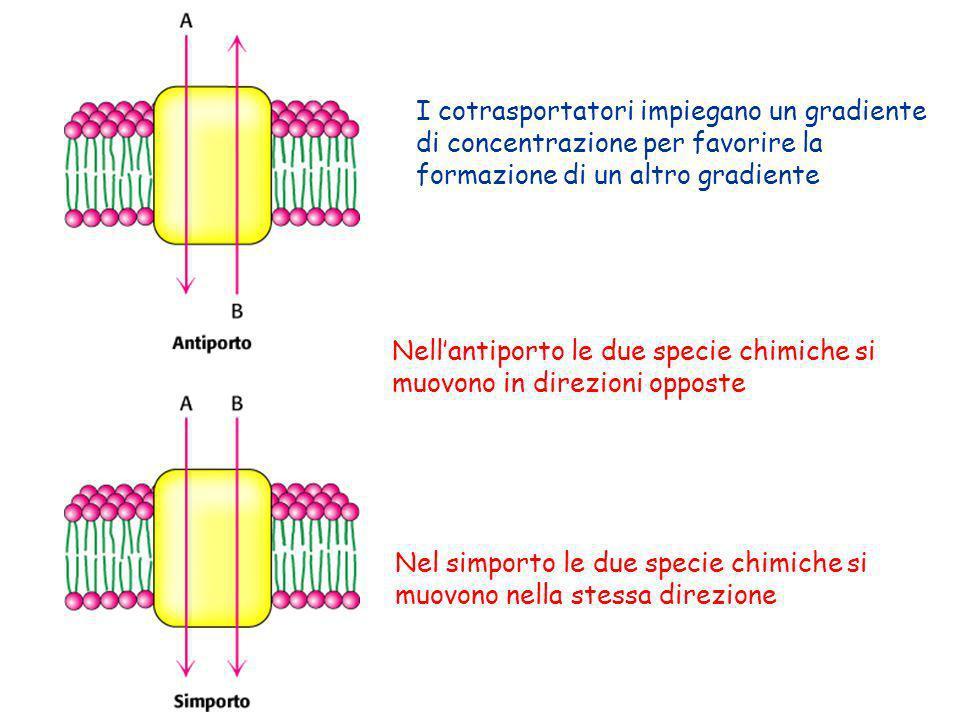 I cotrasportatori impiegano un gradiente di concentrazione per favorire la formazione di un altro gradiente Nellantiporto le due specie chimiche si mu