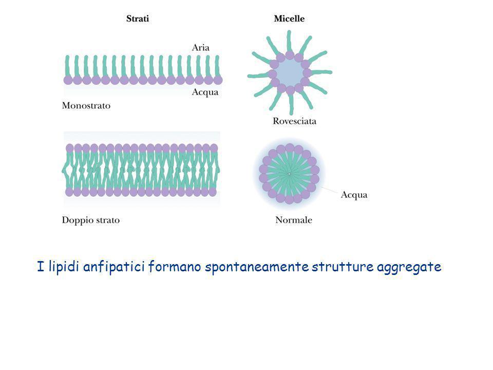 Azione delle fosfolipasi potente detergente che distrugge le membrane cellulari (nei veleni di api e serpenti) fosfolipasi A 2 fosfolipasi Cfosfolipasi D fosfolipasi A 2