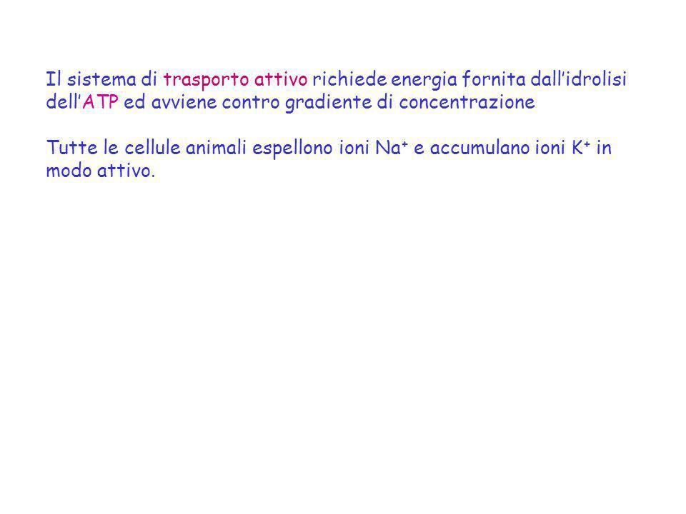 Il sistema di trasporto attivo richiede energia fornita dallidrolisi dellATP ed avviene contro gradiente di concentrazione Tutte le cellule animali es