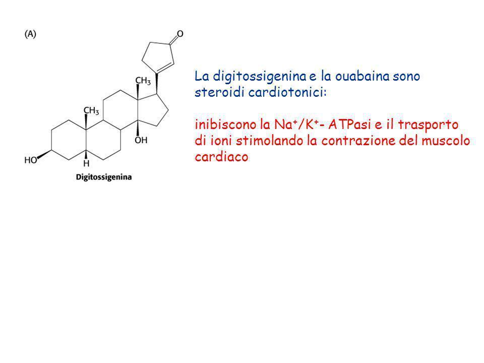 La digitossigenina e la ouabaina sono steroidi cardiotonici: inibiscono la Na + /K + - ATPasi e il trasporto di ioni stimolando la contrazione del mus