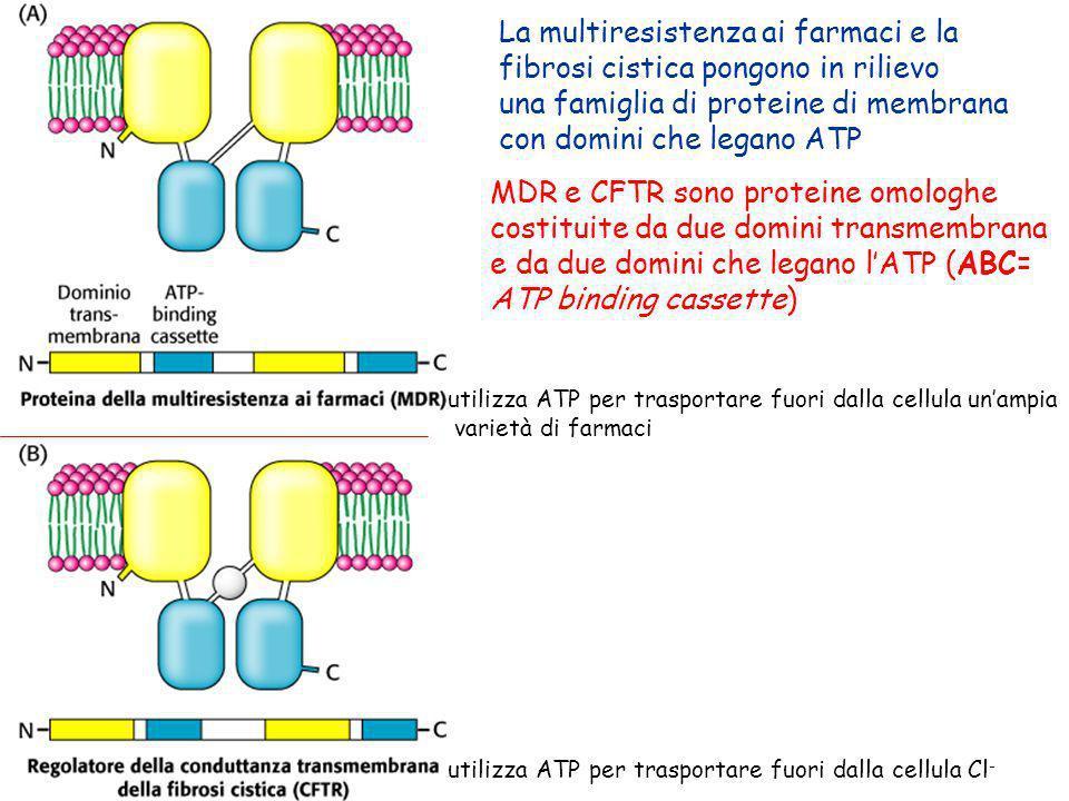La multiresistenza ai farmaci e la fibrosi cistica pongono in rilievo una famiglia di proteine di membrana con domini che legano ATP MDR e CFTR sono p