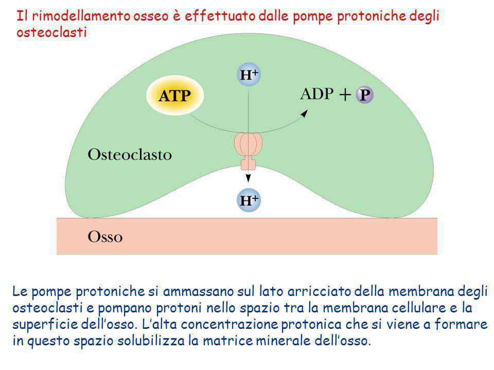 Le pompe protoniche si ammassano sul lato arricciato della membrana degli osteoclasti e pompano protoni nello spazio tra la membrana cellulare e la su