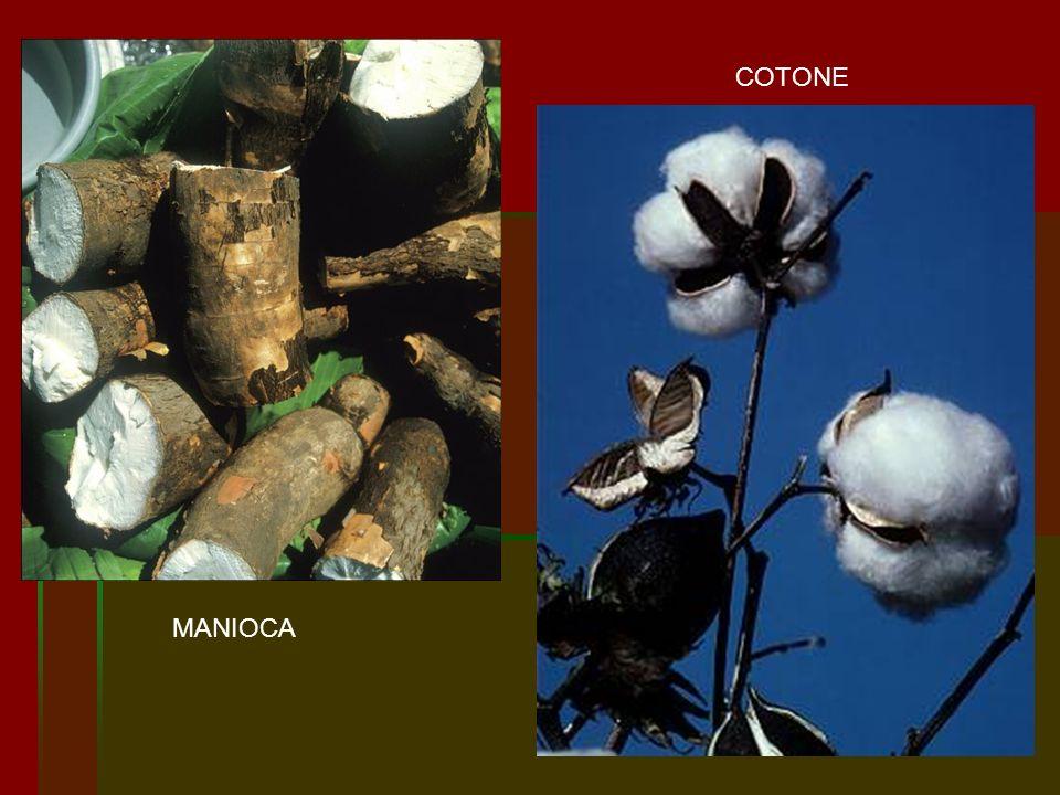 MANIOCA COTONE