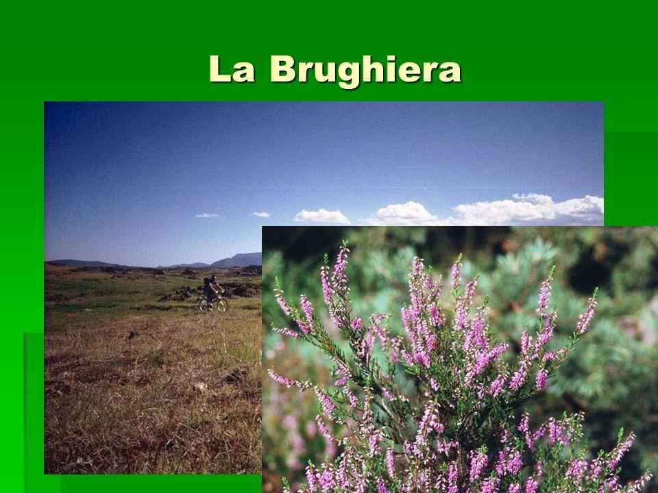 La Brughiera
