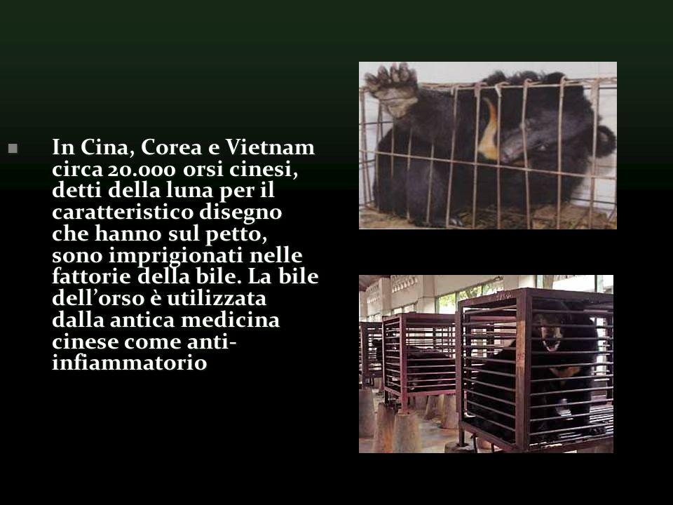 In Cina, Corea e Vietnam circa 20.000 orsi cinesi, detti della luna per il caratteristico disegno che hanno sul petto, sono imprigionati nelle fattorie della bile.