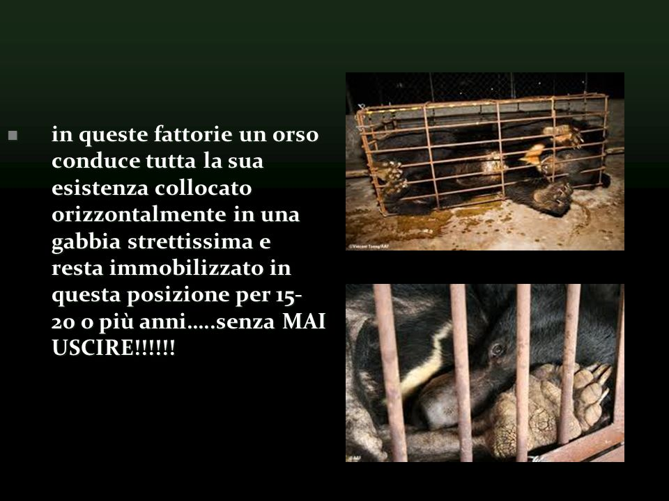 in queste fattorie un orso conduce tutta la sua esistenza collocato orizzontalmente in una gabbia strettissima e resta immobilizzato in questa posizione per 15- 20 o più anni…..senza MAI USCIRE!!!!!.