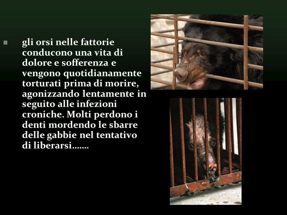 gli orsi nelle fattorie conducono una vita di dolore e sofferenza e vengono quotidianamente torturati prima di morire, agonizzando lentamente in seguito alle infezioni croniche.