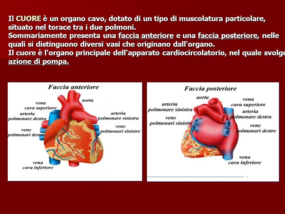 Il CUORE è un organo cavo, dotato di un tipo di muscolatura particolare, situato nel torace tra i due polmoni. Sommariamente presenta una faccia anter