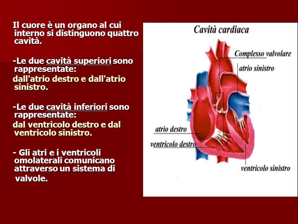 Il cuore è un organo al cui interno si distinguono quattro cavità. Il cuore è un organo al cui interno si distinguono quattro cavità. -Le due cavità s