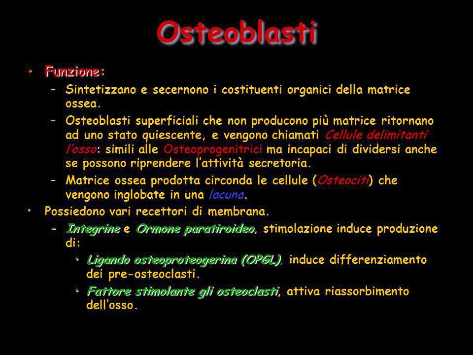 Funzione:Funzione: –Sintetizzano e secernono i costituenti organici della matrice ossea. –Osteoblasti superficiali che non producono più matrice ritor