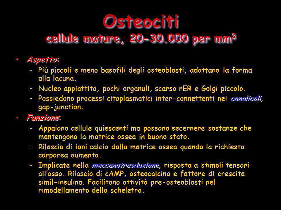cellule mature, 20-30.000 per mm 3 Osteociti cellule mature, 20-30.000 per mm 3 Aspetto:Aspetto: –Più piccoli e meno basofili degli osteoblasti, adatt