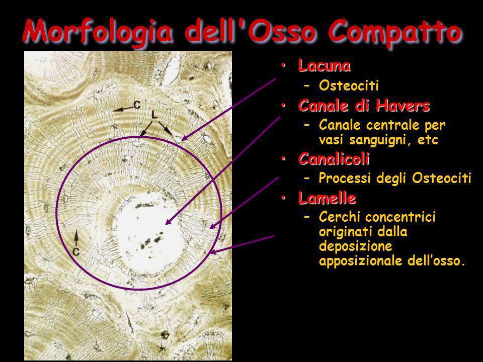 Morfologia dell'Osso Compatto LacunaLacuna –Osteociti Canale di HaversCanale di Havers –Canale centrale per vasi sanguigni, etc CanalicoliCanalicoli –
