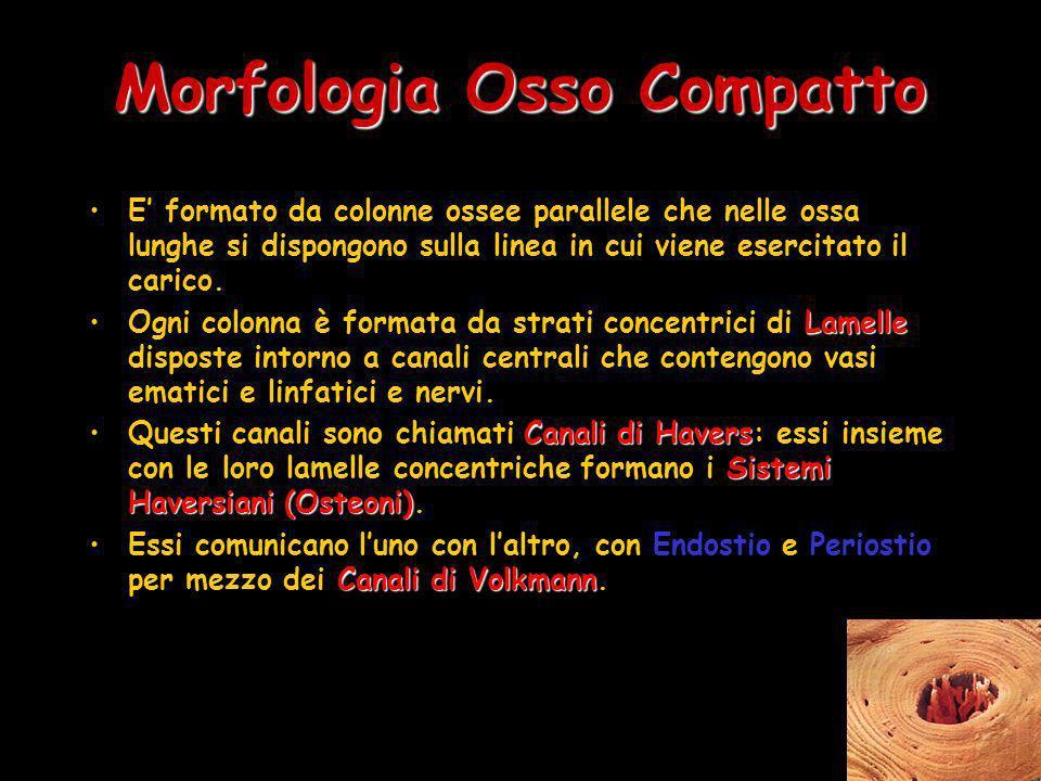 Morfologia Osso Compatto E formato da colonne ossee parallele che nelle ossa lunghe si dispongono sulla linea in cui viene esercitato il carico. Lamel
