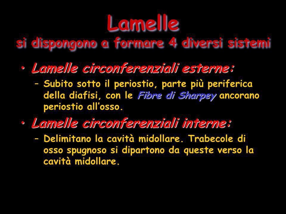 Lamelle si dispongono a formare 4 diversi sistemi Lamelle circonferenziali esterne:Lamelle circonferenziali esterne: Fibre di Sharpey –Subito sotto il