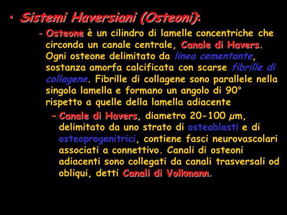 Sistemi Haversiani (Osteoni):Sistemi Haversiani (Osteoni): -Osteone Canale di Havers -Osteone è un cilindro di lamelle concentriche che circonda un ca
