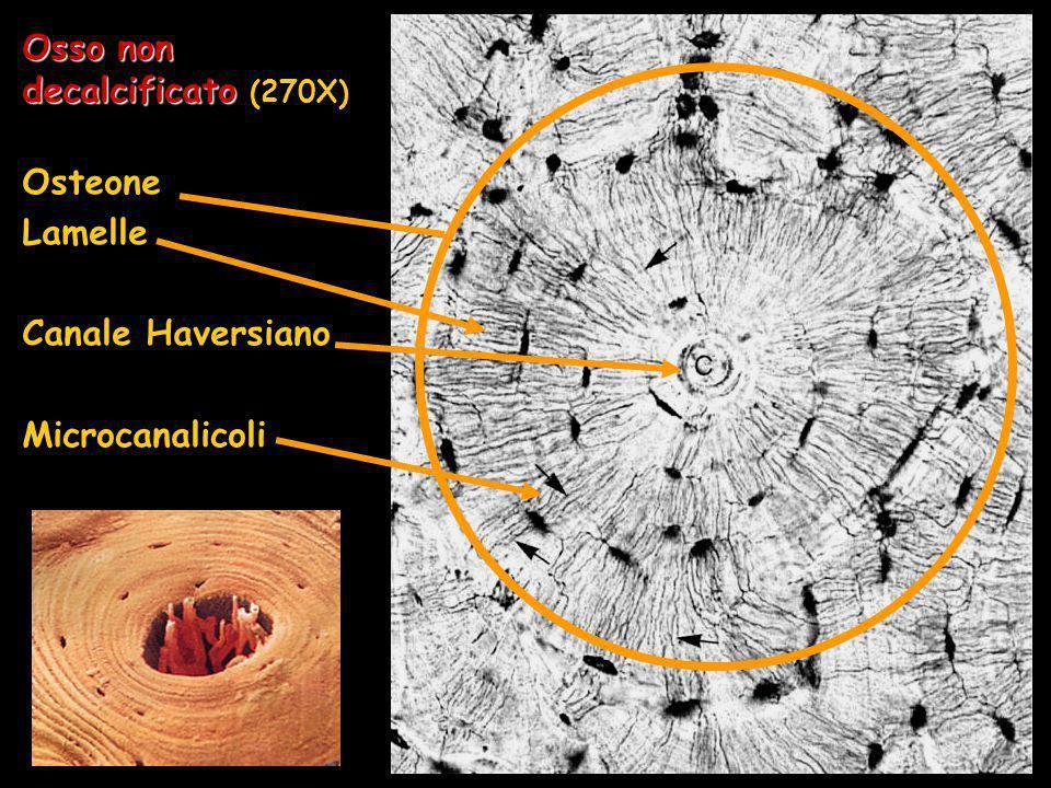 Osso non decalcificato Osso non decalcificato (270X) Osteone Lamelle Canale Haversiano Microcanalicoli