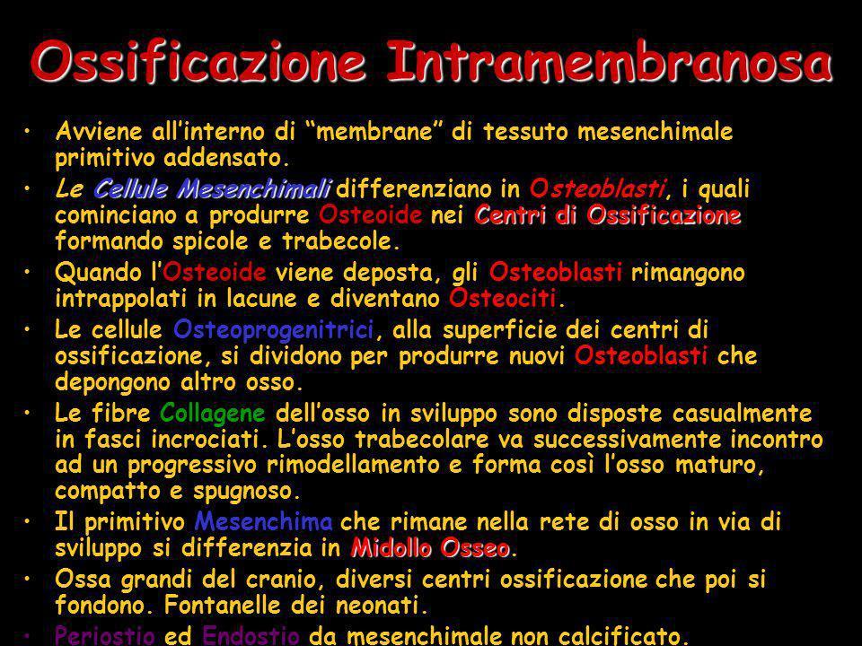 Ossificazione Intramembranosa Avviene allinterno di membrane di tessuto mesenchimale primitivo addensato. Cellule Mesenchimali Centri di Ossificazione