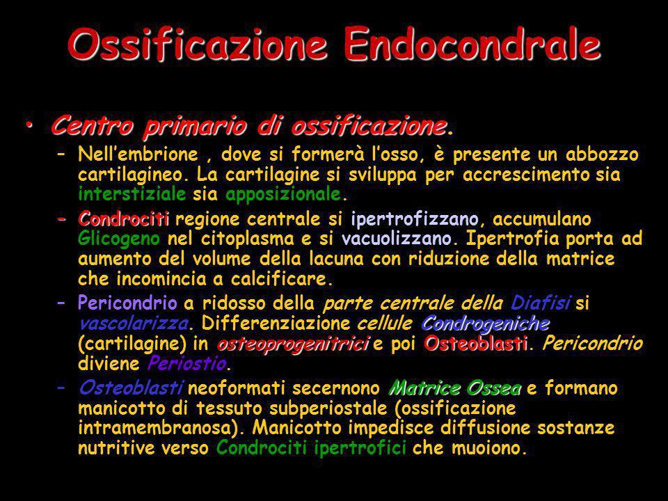 Ossificazione Endocondrale Centro primario di ossificazioneCentro primario di ossificazione. –Nellembrione, dove si formerà losso, è presente un abboz