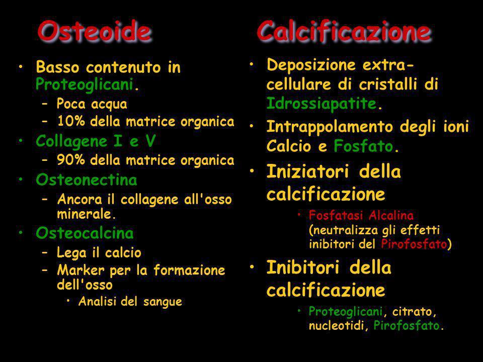 Osteoide Calcificazione Basso contenuto in Proteoglicani. –Poca acqua –10% della matrice organica Collagene I e V –90% della matrice organica Osteonec