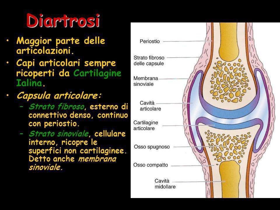 Diartrosi Maggior parte delle articolazioni. Capi articolari sempre ricoperti da Cartilagine Ialina. Capsula articolare: –Strato fibroso, esterno di c