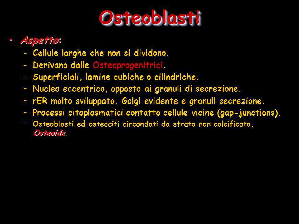 OsteoblastiOsteoblasti Aspetto:Aspetto: –Cellule larghe che non si dividono. –Derivano dalle Osteoprogenitrici. –Superficiali, lamine cubiche o cilind