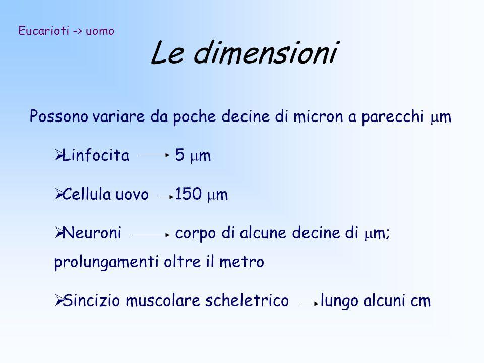 Le dimensioni Possono variare da poche decine di micron a parecchi m Linfocita5 m Cellula uovo150 m Neuronicorpo di alcune decine di m; prolungamenti