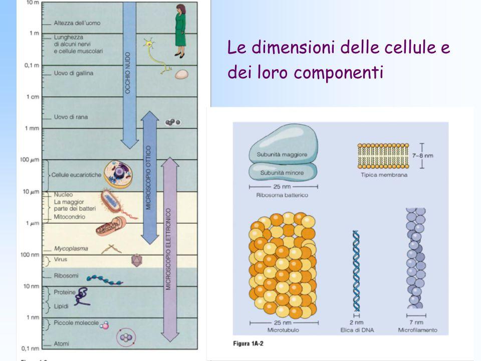 Le dimensioni delle cellule e dei loro componenti
