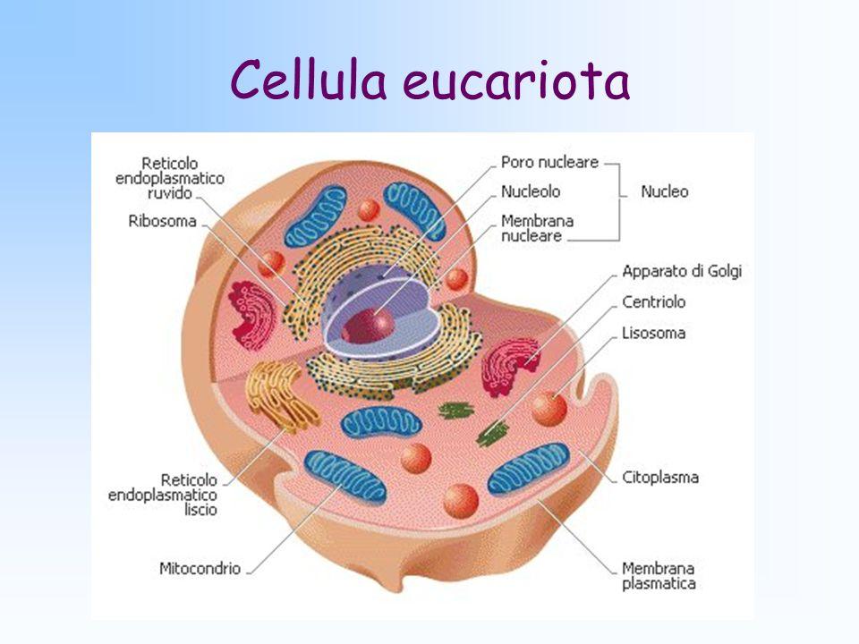 Cellula eucariota