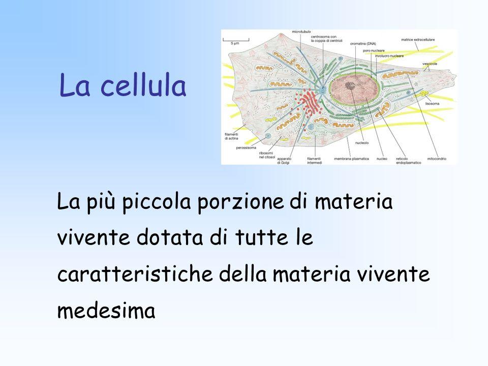 Legge di Driesch o legge delle dimensioni cellulari costanti In tutti gli organismi dello stesso phylum, cellule corrispondenti tra loro per forma, per funzione e per posizione nel corpo hanno dimensioni simili